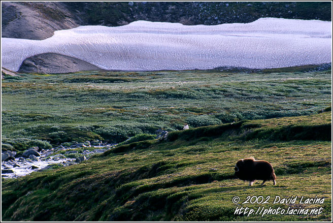 Musk-ox - Best of 2002, Norway