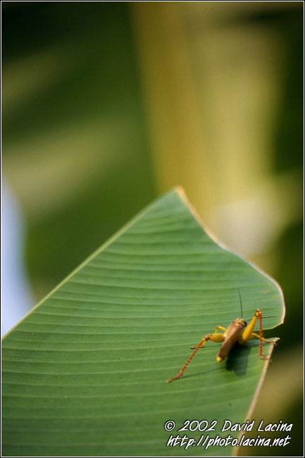 Grass-hopper - Lake Maninjau, Indonesia