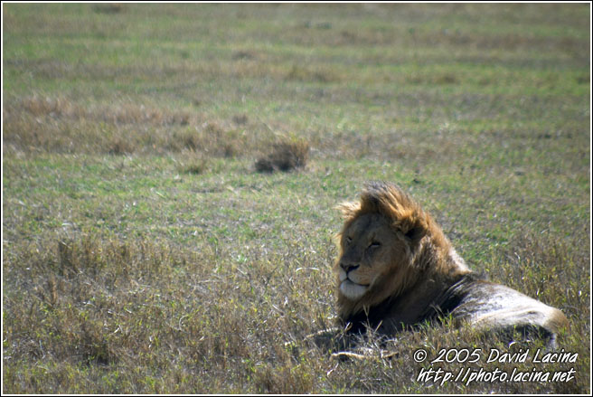 Lion During Rest - Ngorongoro Crater, Tanzania