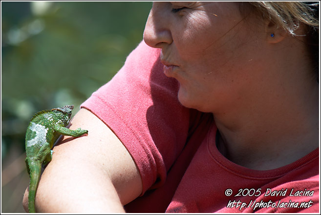 Playing With Chameleon - Nature Of Usambara Mountains, Tanzania