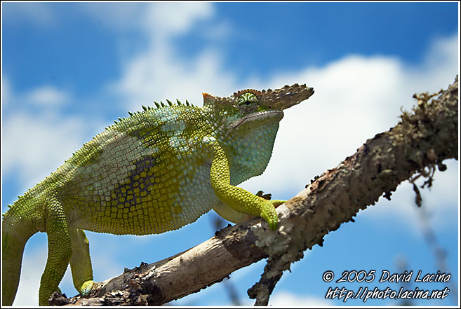 Chameleon On A Branch - Nature Of Usambara Mountains, Tanzania