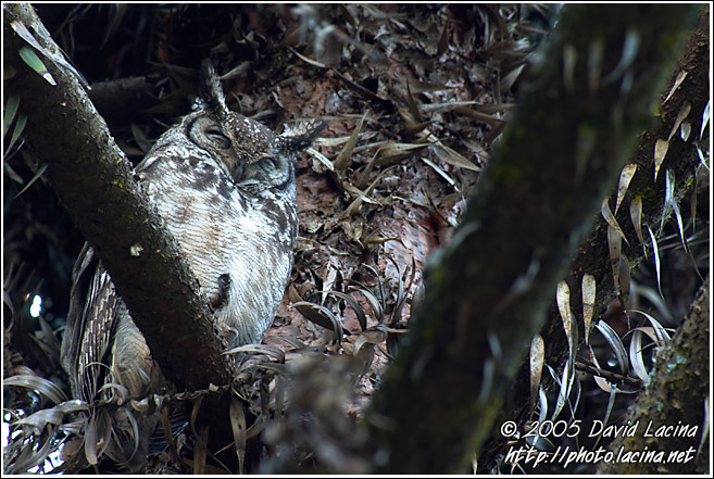 Spotted Eagle-Owl (Bubo Africanus) - Nature Of Usambara Mountains, Tanzania