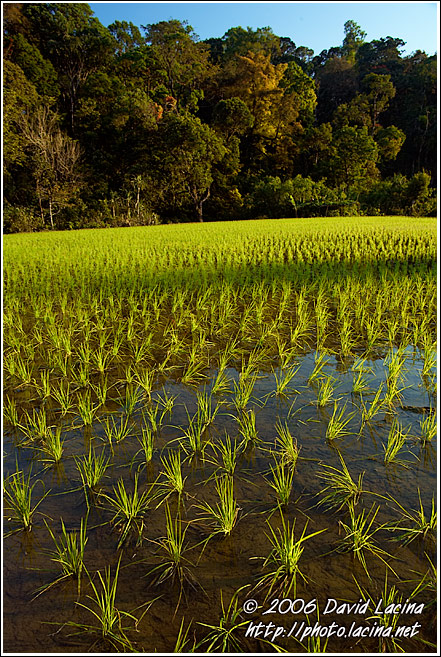 Rice Field - Kodagu (Coorg) Hills, India