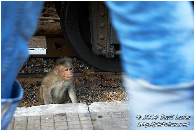 Monkey By Ooty Train - Ooty, India
