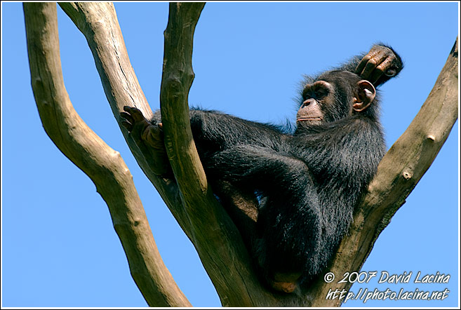Chimpanzee Relaxing - People And Nature, Sierra Leone