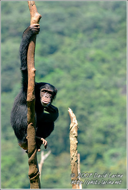 Chimpanzee On A Tree - People And Nature, Sierra Leone