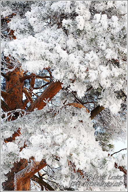 Frost And Pine - Winter 2009, Norway