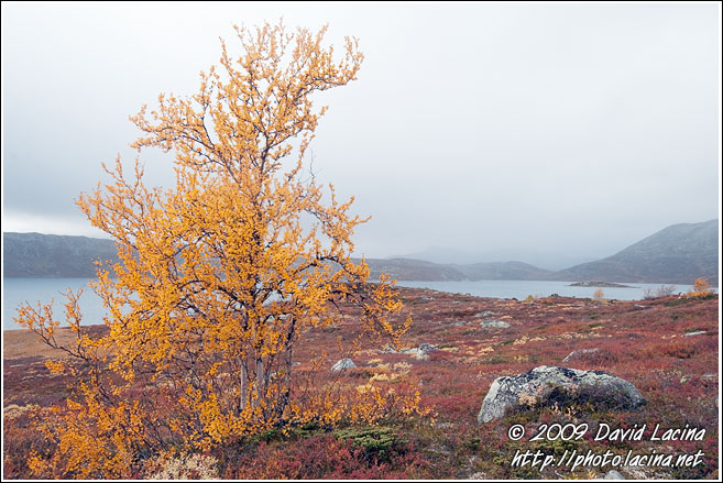 Birch By Vanvatn - Autumn In Hemsedal, Norway
