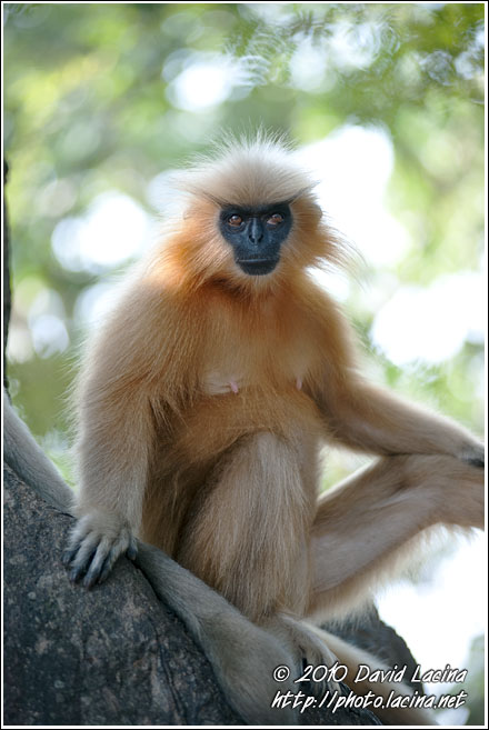 Posing For The Photographer - Golden Langur, India
