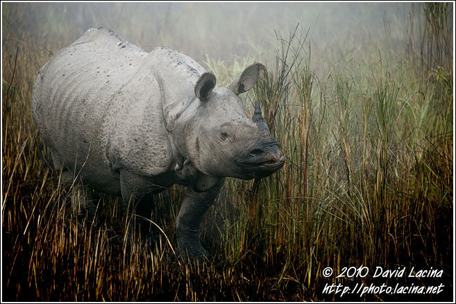 One Horned Rhinoceros - Kaziranga NP, India