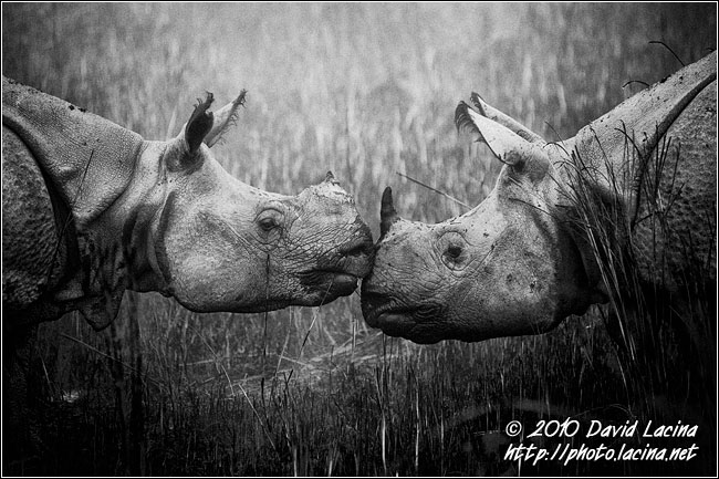One Horned Rhinoceros - Black And White Snaps, India