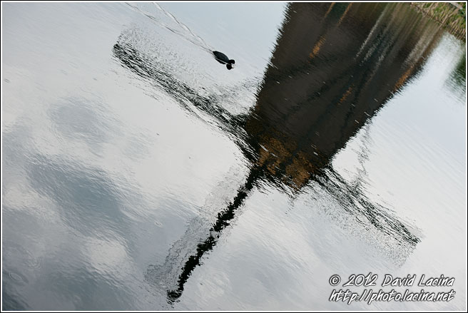 Coot And Windmill Reflection - Kinderdijk, Netherlands