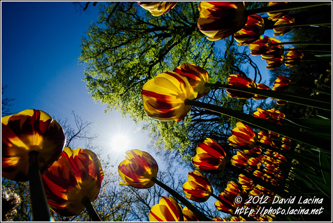 Tulips And Sun - Keukenhof Gardens, Netherlands