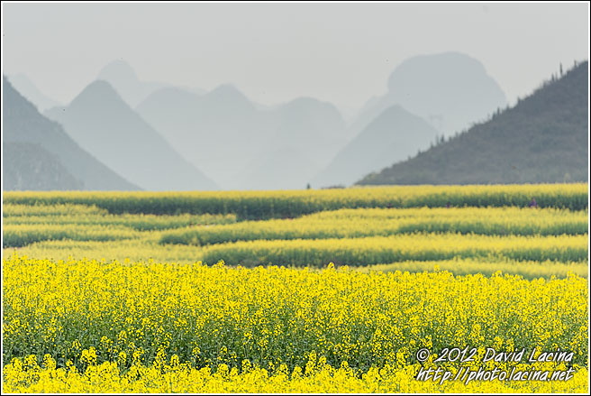 Rapeseed Fields - Luoping, China