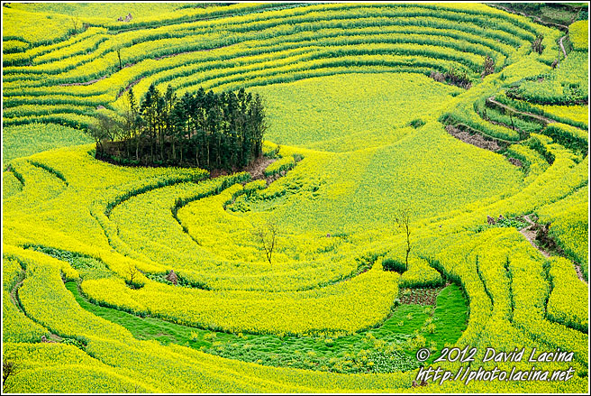 Rapeseed Fields And Trees - Luoping, China