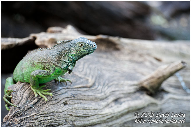 Iguana - Best Of, Guatemala