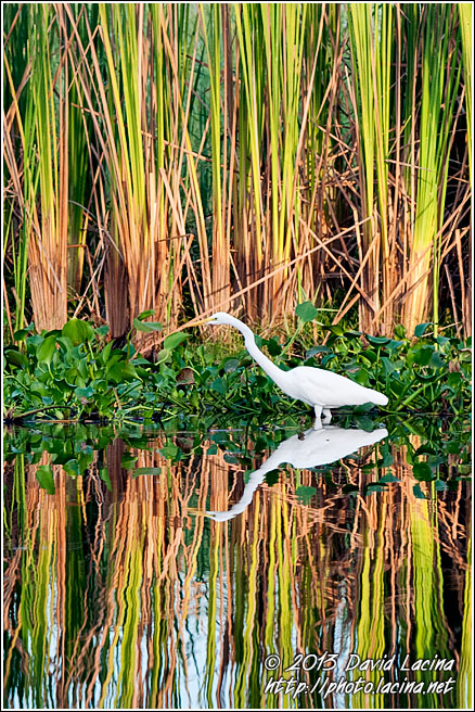Great Egret - Best Of, Guatemala