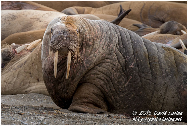 Walrus - Svalbard, Norway