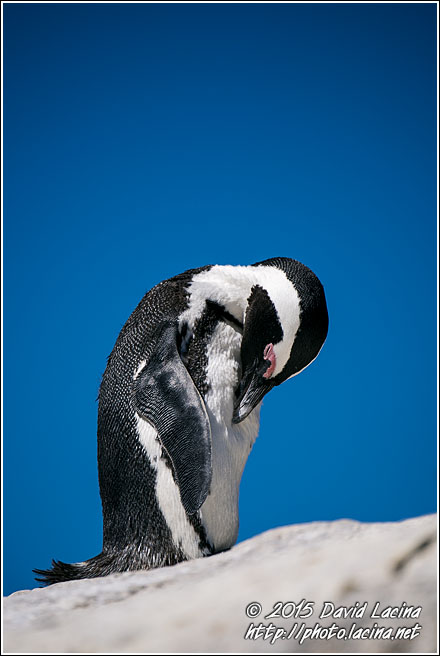 African Penguin - Best Of SA, South Africa