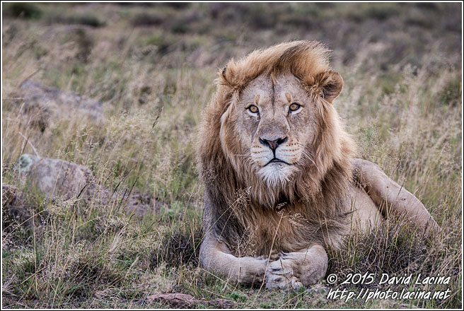 African Lion - Best Of SA, South Africa