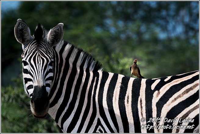 Zebra And Oxpecker - Best Of SA, South Africa