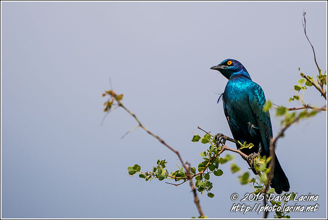 Cape Starling - Best Of SA, South Africa
