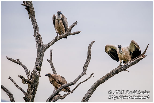 White-Backed Vultures - Best Of SA, South Africa