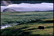 Musk-ox, Best of 2002, Norway