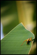 Grass-hopper, Lake Maninjau, Indonesia