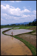 Rice Field, Minangkabau, Indonesia