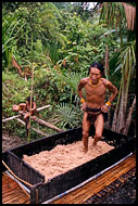 Processing Of Sago, Siberut island, Indonesia