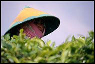 Tea Plantation Worker, Kerinci, Indonesia