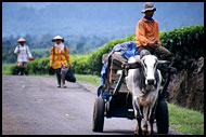Comming Back From Field, Kerinci, Indonesia