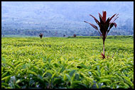 Tea Plantation, Kerinci, Indonesia