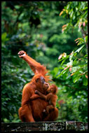 FREEDOM! (orangutan), Lake Toba, Indonesia