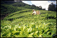 Picking Up Tea, Cameron Highlands, Malaysia