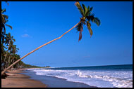 Coconut Tree, Brenu beach, Ghana