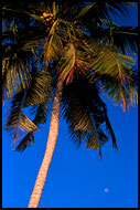 Palm Tree And Moon, Brenu beach, Ghana