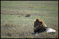 Lion During Rest, Ngorongoro Crater, Tanzania
