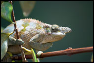Chameleon, Nature Of Usambara Mountains, Tanzania