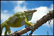 Chameleon On A Branch, Nature Of Usambara Mountains, Tanzania