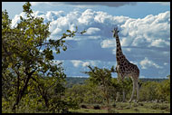 Giraffe And Clouds, Thomson's Falls, Kenya