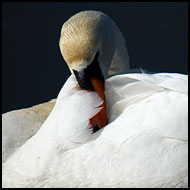 Shy Personality Of Swan, Best of 2005, Norway