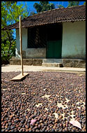 Drying Coffee Beans, Kodagu (Coorg) Hills, India