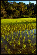 Rice Field, Kodagu (Coorg) Hills, India