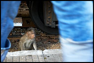 Monkey By Ooty Train, Ooty, India