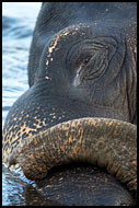 Elephant Resting In River, Elephant Training Center, India