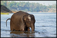 Baby Elephant In A River, Elephant Training Center, India