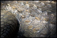 Crocodile Skin, Elephant Training Center, India