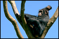 Chimpanzee Relaxing, People And Nature, Sierra Leone